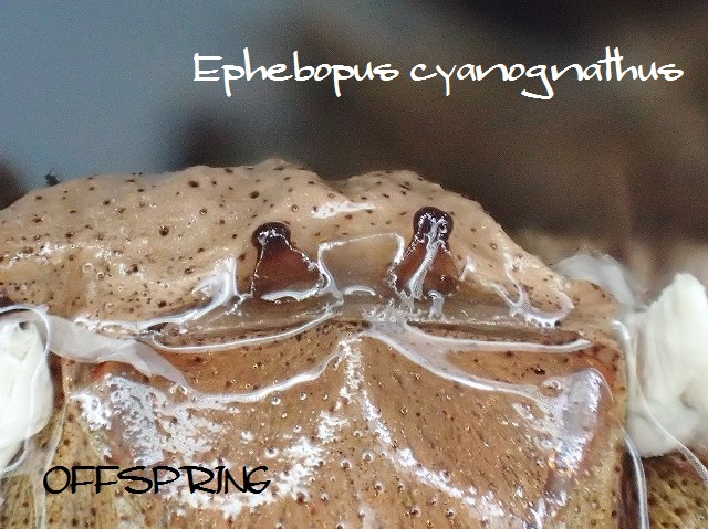 Ephebopus cyanognathus2013eu02