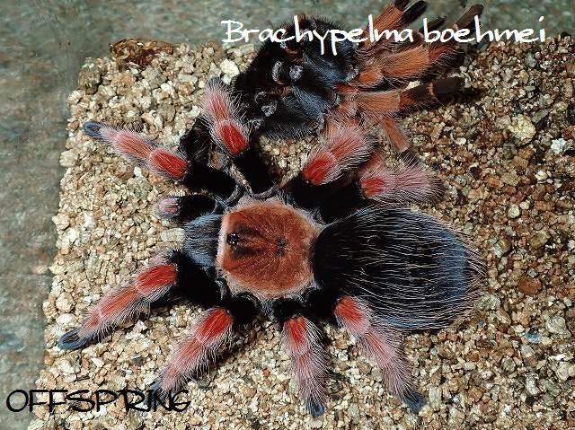 Brachypelma boehmei2012eu01