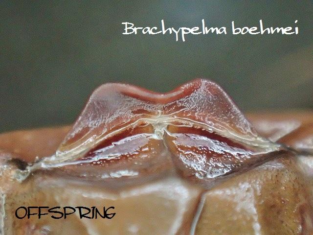 Brachypelma boehmei2012eu02