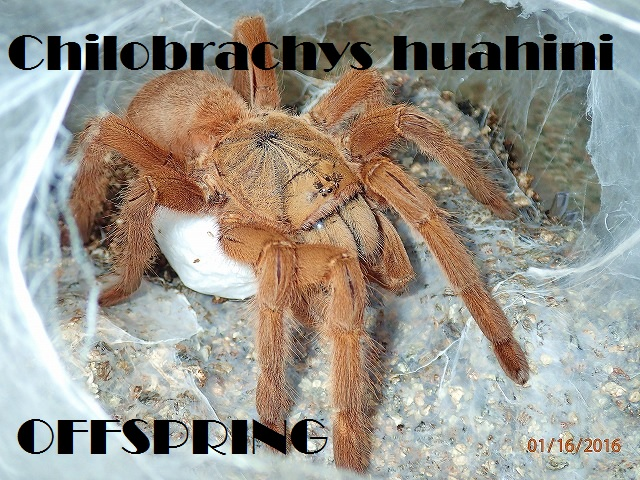 Chilobrachys huahini0001
