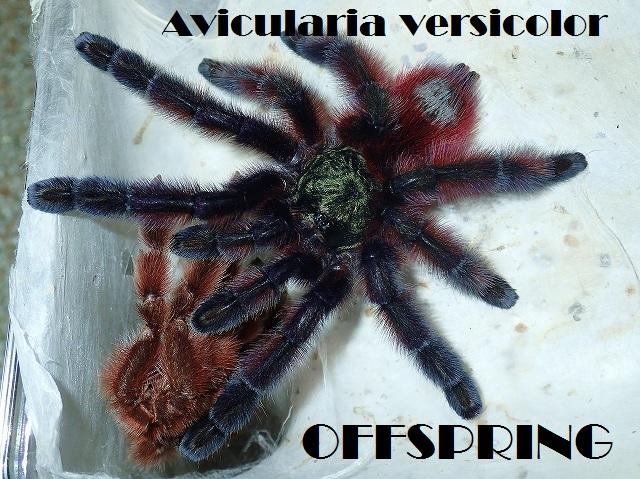 Avicularia versicolor001