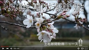 前橋でサクラ開花宣言