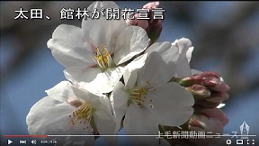 太田、館林が開花宣言