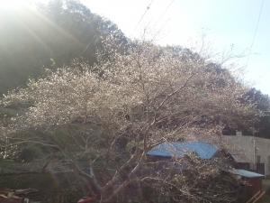 151120四季桜