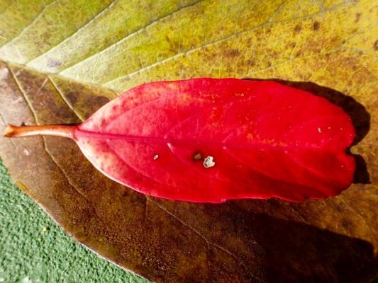 サンゴジュの落ち葉