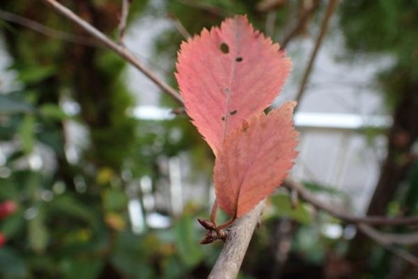 サクラ紅葉