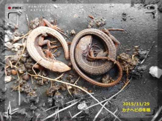 カナヘビ冬眠