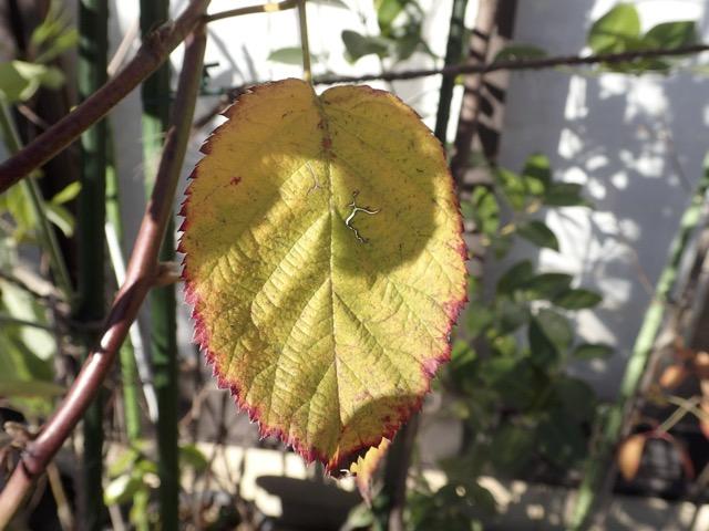 ブラックベリーの葉