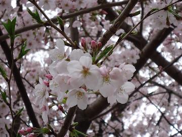 16sakura1.jpg