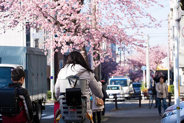 学校帰りの親子と桜並木