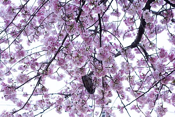 大寒桜とヒヨドリ
