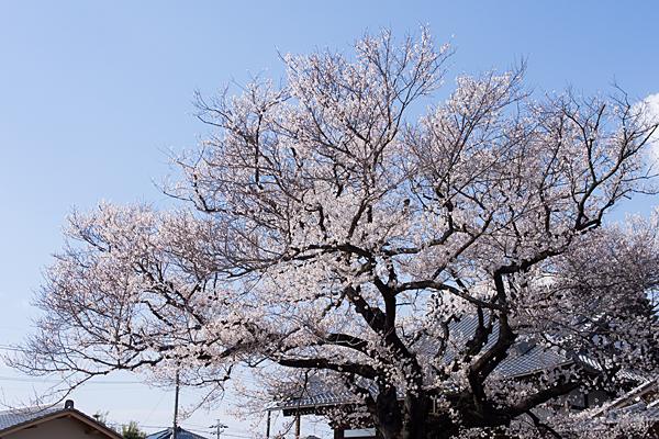 覚成寺開花