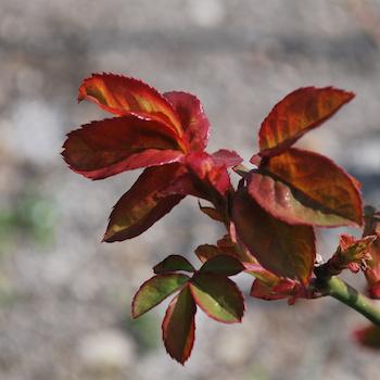 薔薇 新芽 アンネのバラ