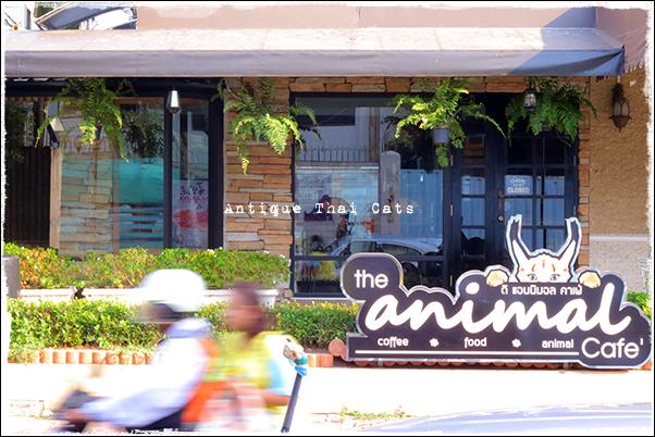 アニマルカフェ The animal cafe タイ Thai ไทย バンコク Bangkok กรุงเทพฯ แมว ไทย ขาวมณี ตา2สี Antique Thai Cats アンティークタイキャット