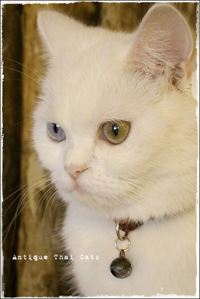 アニマルカフェ The animal cafe 猫 cat แมว タイ Thai ไทย バンコク Bangkok กรุงเทพฯ แมว ไทย ขาวมณี ตา2สี Antique Thai Cats アンティークタイキャット