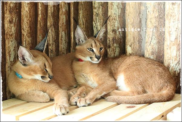 アニマルカフェ The animal cafe カラカル Caracal タイ Thai ไทย バンコク Bangkok กรุงเทพฯ แมว ไทย ขาวมณี ตา2สี Antique Thai Cats アンティークタイキャット