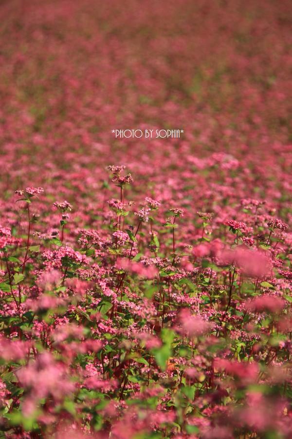 続・赤そばの花