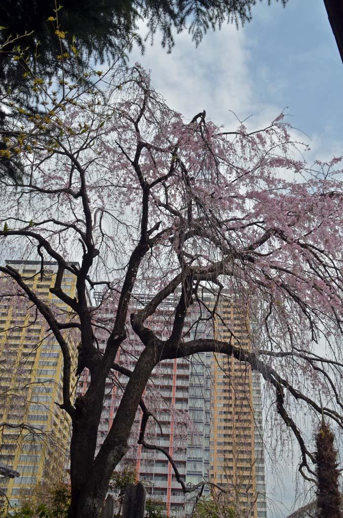 D70_8353上野の桜