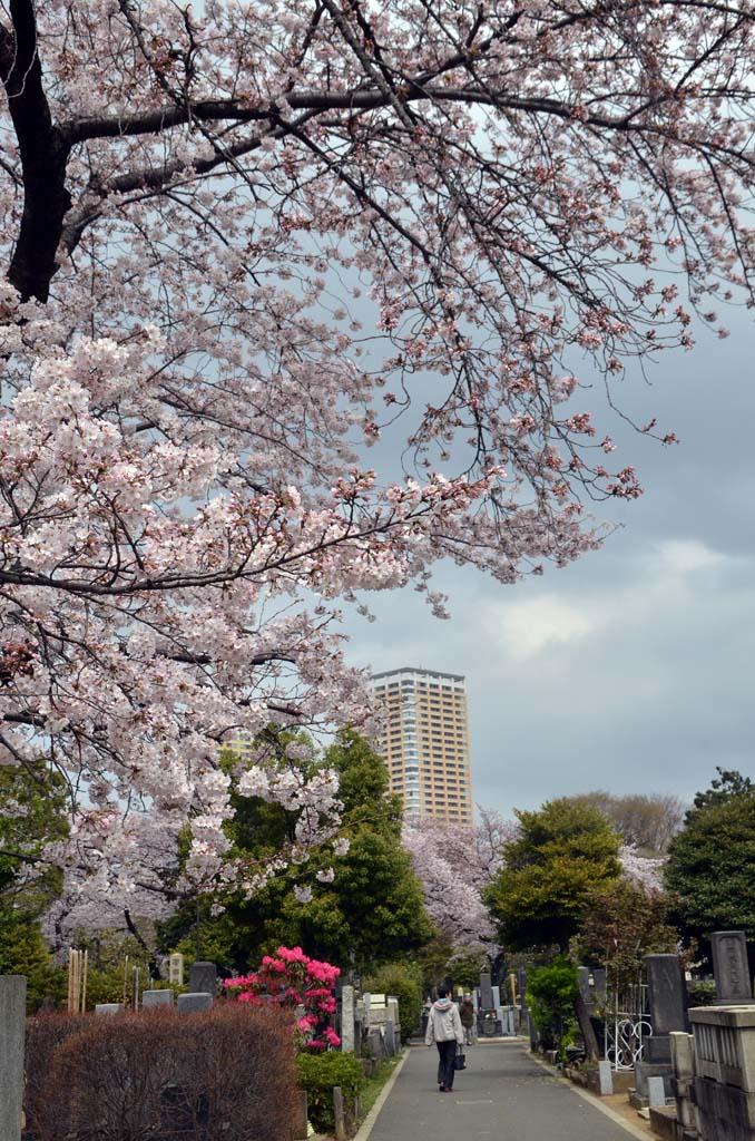 D70_8360上野の桜