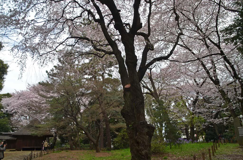 D70_8390上野の桜