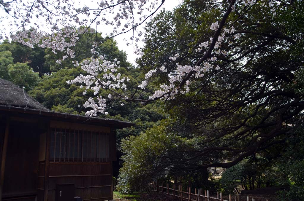 D70_8394上野の桜
