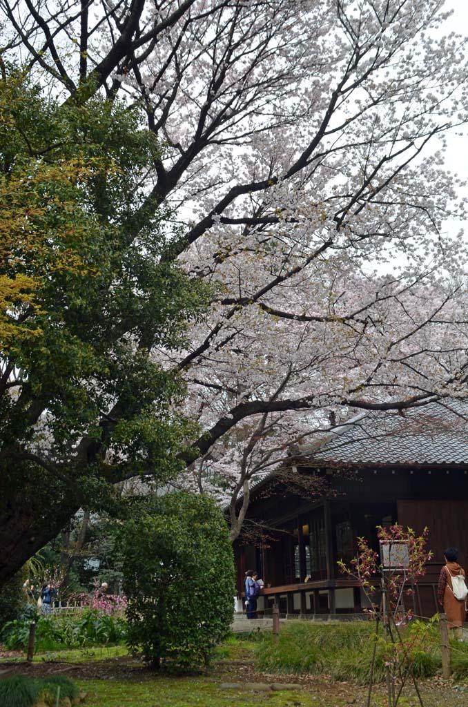 D70_8405上野の桜