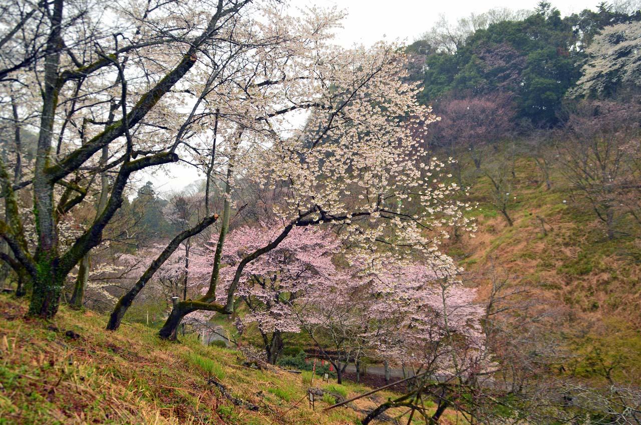 D70_8571桜園