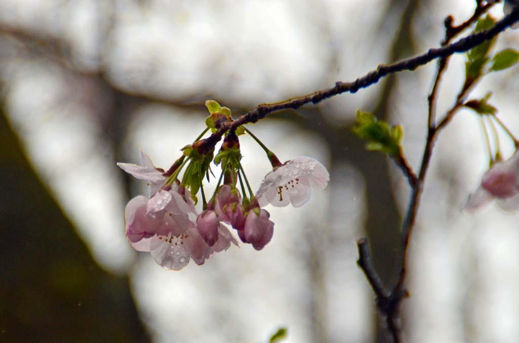 D70_8576桜園