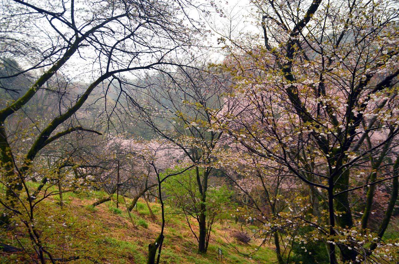D70_8598桜園