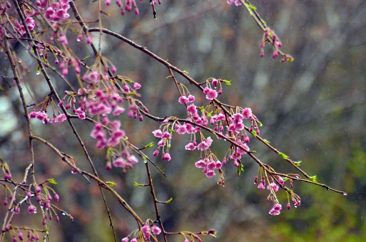 D70_8662桜園