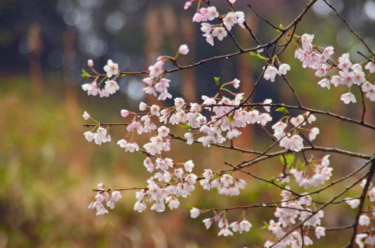 D70_8665桜園