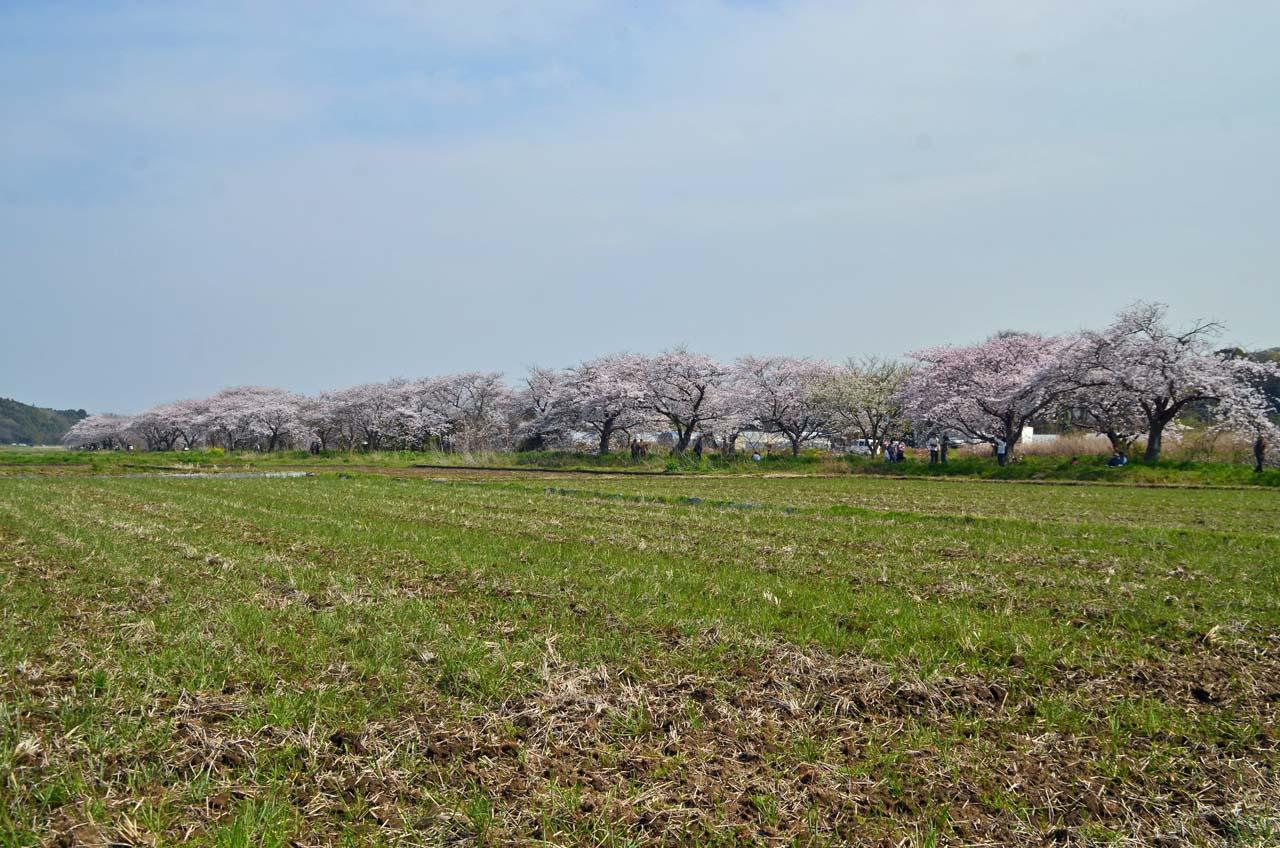 D70_8760今井の桜
