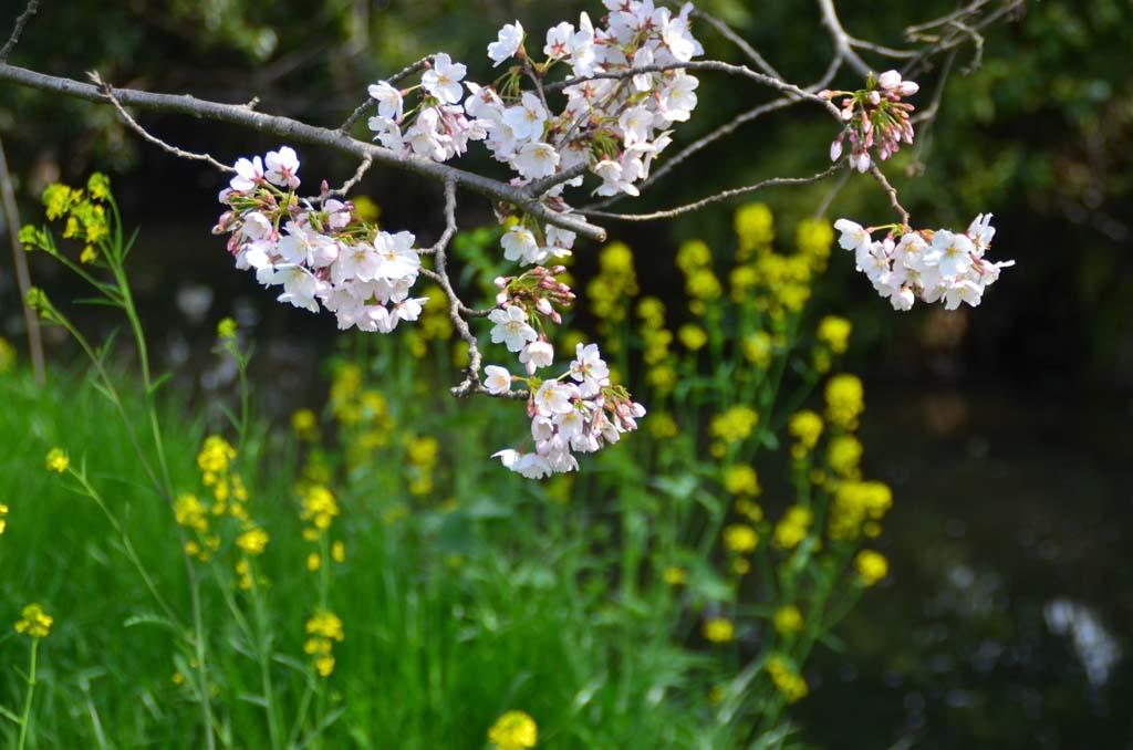 D70_8785今井の桜