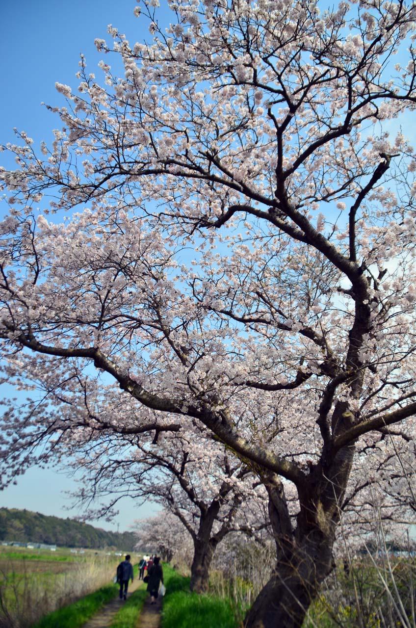 D70_8777今井の桜