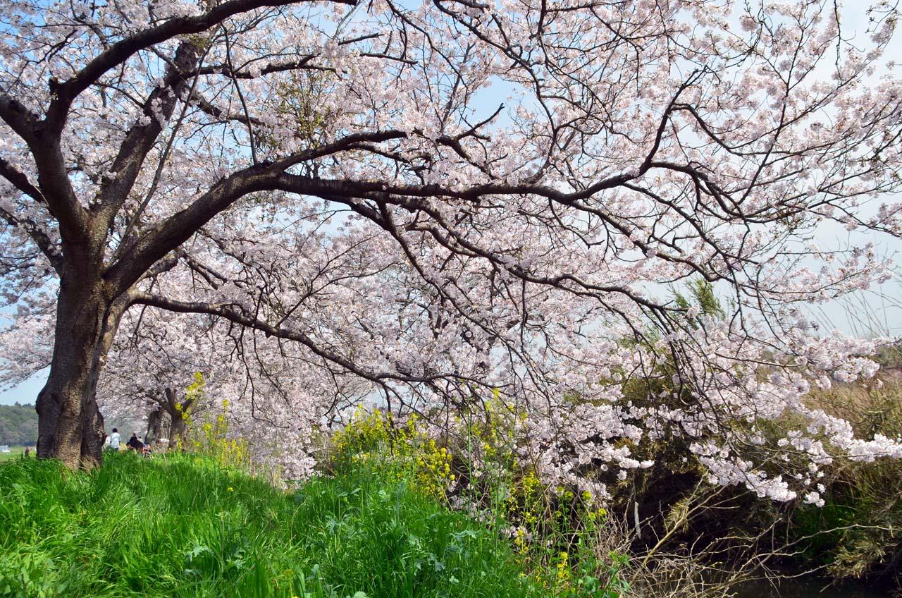 D70_8772今井の桜