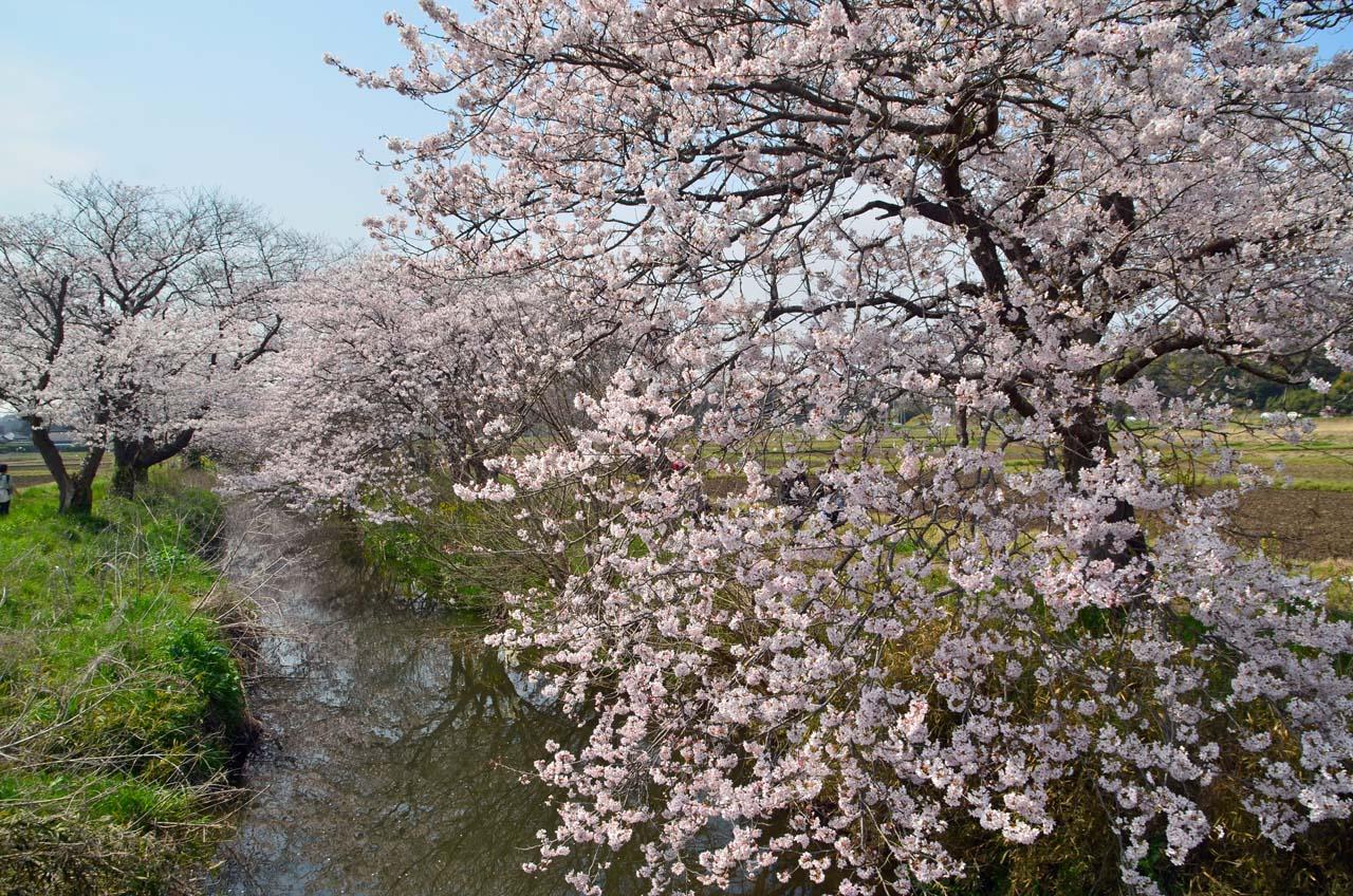 D70_8761今井の桜