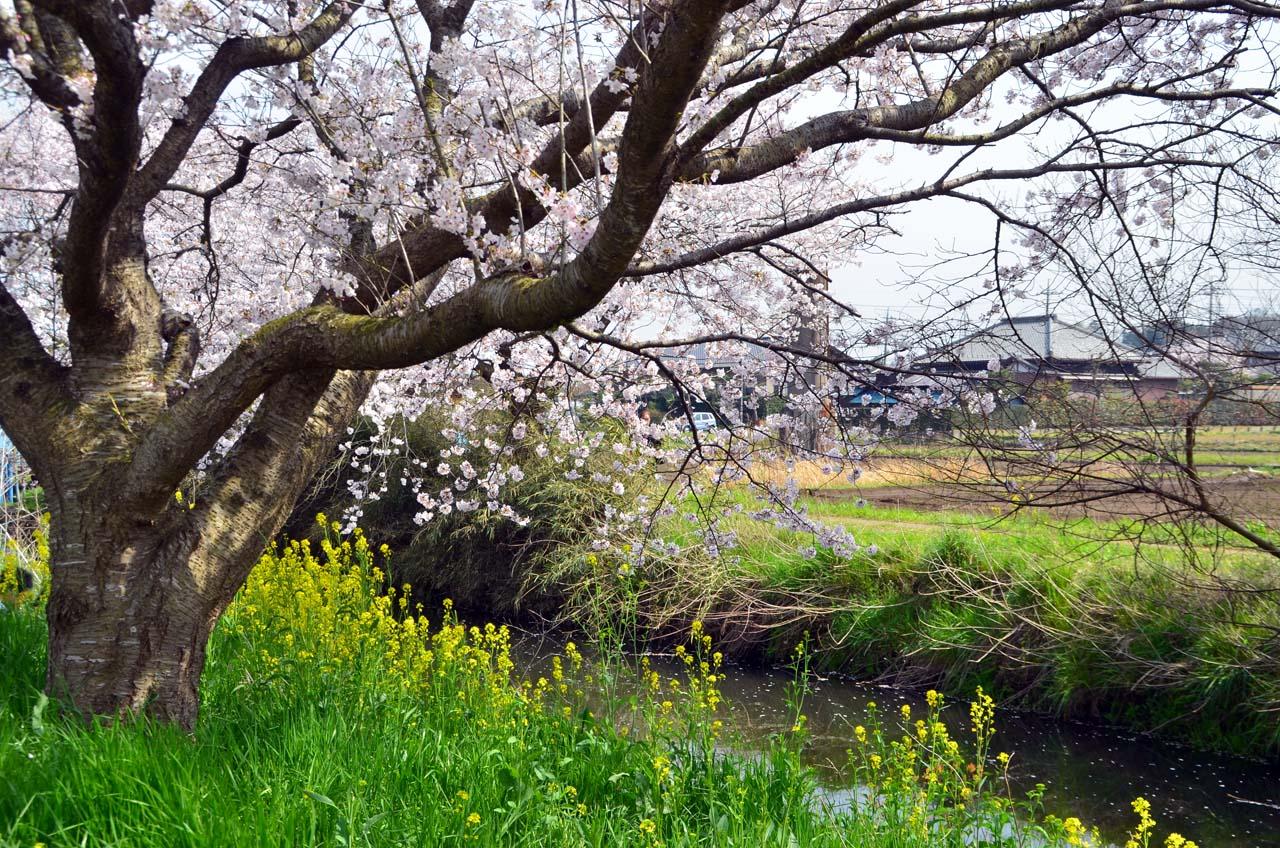 D70_8801今井の桜