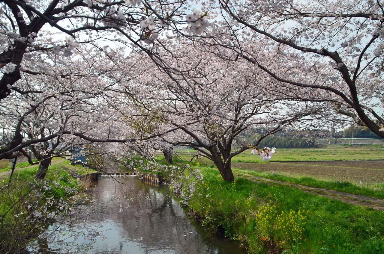 D70_8816今井の桜