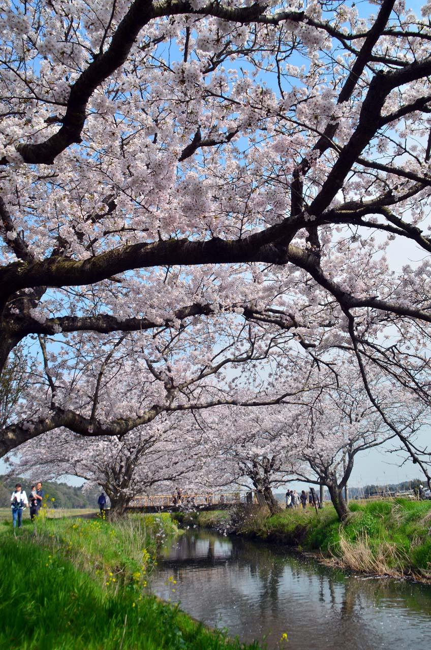 D70_8804今井の桜