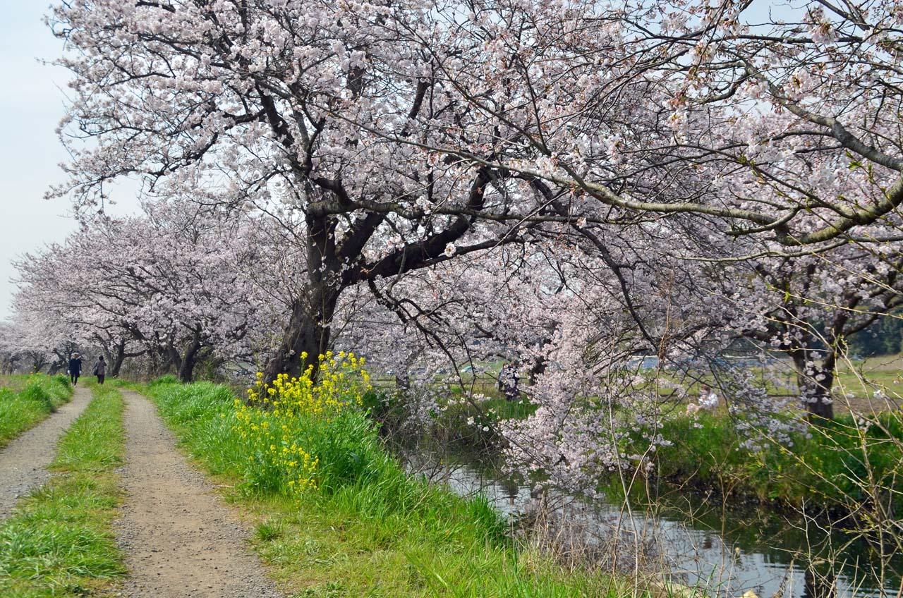 D70_8860今井の桜