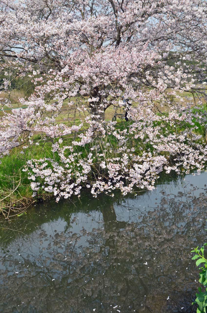 D70_8865今井の桜