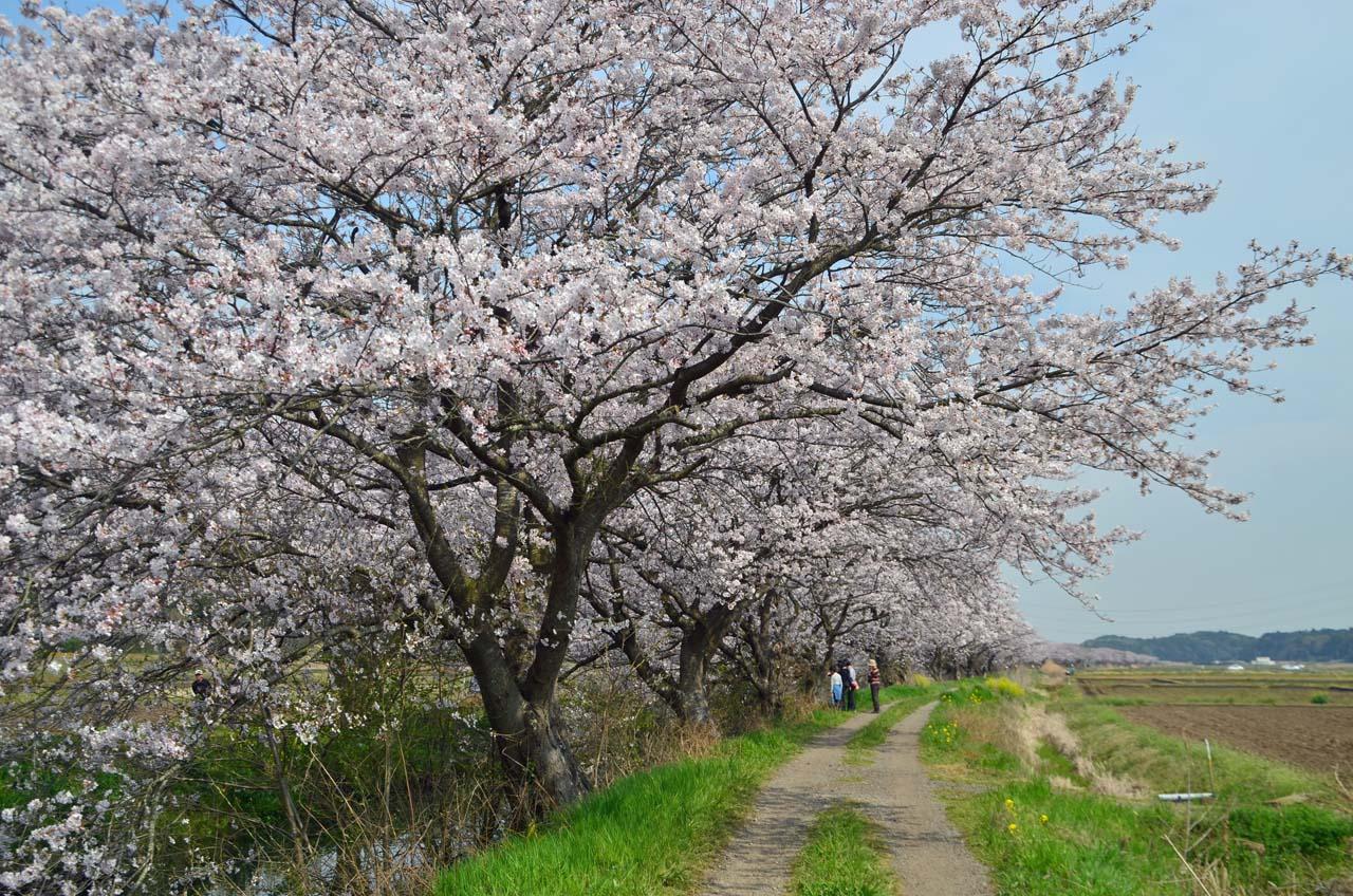 D70_8869今井の桜