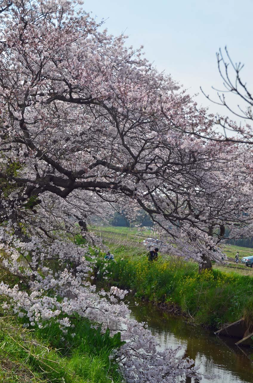 D70_8870今井の桜