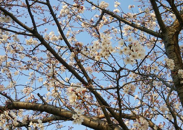 桜16033