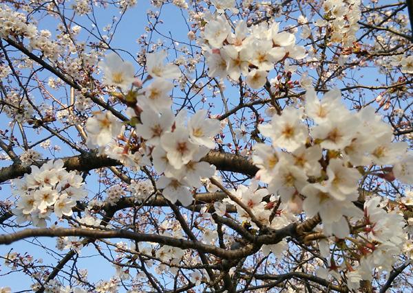 桜16034