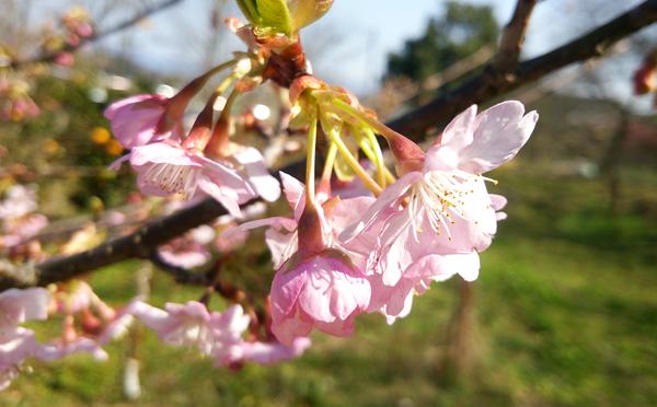 ピンクの桜さん