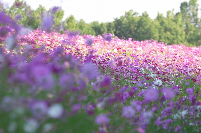 万博記念公園 秋 コスモスフェスタ 花の丘