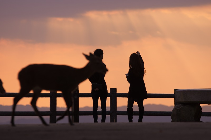 若草山のススキと鹿と夕焼けと夜景