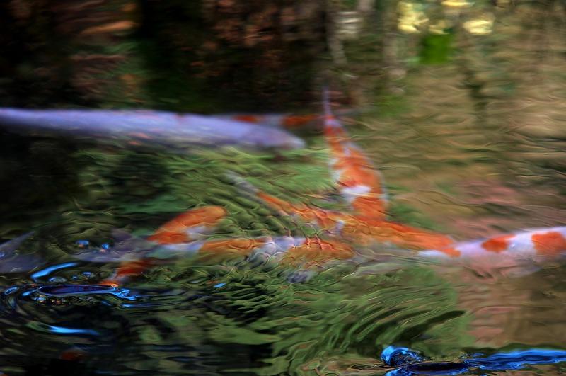 京都大原三千院 池の鯉