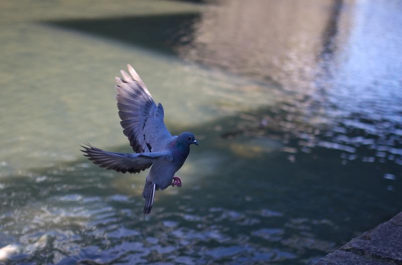 長崎 眼鏡橋 鳩